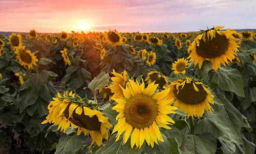 Sunflowers in Toowoomba.