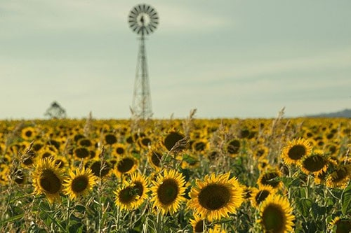 Windmill with Sunflowers in Toowoomba.